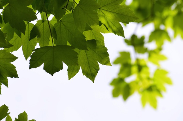 trees_maple_leaf_leaves_green_plant_nature